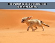 The tiny desert fox…