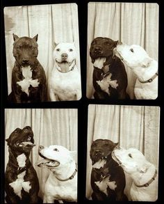 Funny pictures about What happens when you put two pit bulls in a photo booth. Oh, and cool pics about What happens when you put two pit bulls in a photo booth. Also, What happens when you put two pit bulls in a photo booth. Love My Dog, Puppy Love, Puppy Pics, Pit Bulls, Baby Dogs, Dogs And Puppies, Doggies, Pit Bull Puppies, Bull Dog