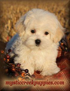 143 Best Elegant Maltipoo Puppies For Sale Images Maltipoo Puppies
