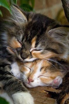 Sleeping Meowy kittens. So adorable.