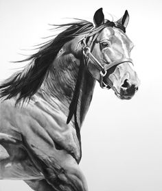 "Equus VI, charcoal on paper, 48 x 36"", 2011 by Virginia Fifield"