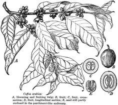 coffee cherry - Google Search