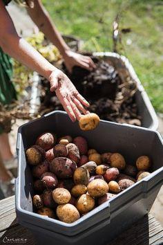 Paul Potato: Kartoffelernte{Zeit} Beans, Vegetables, Food, Ad Home, Essen, Vegetable Recipes, Meals, Yemek, Beans Recipes