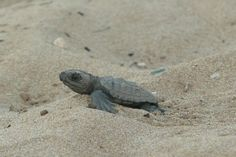 In this unique marine conservation abroad program you will help protect baby sea turtles hatching on the beaches of Greece, from nests marking to hatches monitoring and research. Volunteer In Europe, Volunteer Work, Volunteer Abroad, Sea Turtles Hatching, Baby Sea Turtles, Volunteering With Animals, Greece Sea, Loggerhead Turtle, Turtle Conservation