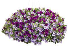 Vintage Violet | Proven Winners