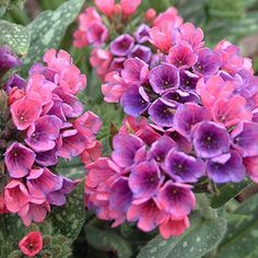 Pulmonaria Raspberry Splash (suggest to Terry)    part shade to shade  Zone 4 - 9  Plant Height 12 in  Plant Width 18 in - 24 in