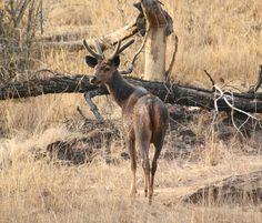 A wild sambar stag at Bandhavgarh National Park in Madhya Pradesh
