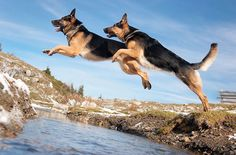 Going the extra leap! And this is why you need a good high fence! Even then you have to keep an eye on them because they can jump. Some GSD's won't even try to jump the fence but others will.