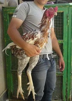 The largest chicken breed - Malay