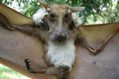 The Buettikofer's epauletted fruit bat (Epomops buettikoferi). A species of megabat found in west Africa. Animals And Pets, Funny Animals, Cute Animals, Strange Animals, Beautiful Creatures, Animals Beautiful, Megabat, Baby Bats, Fruit Bat