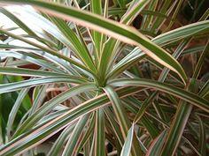 Plantas de interior: Dracaena marginata