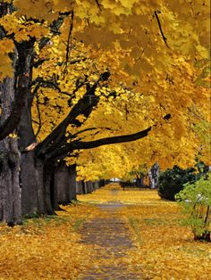 Autumn Maple Trees, Missoula, Montana