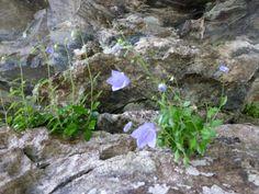 Flower growing in the Aareschlucht - Switzerland