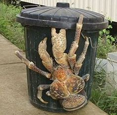 "coconut crab  If you get a chance eat one. They are delicious and their ""tail"" there is coconut oil."