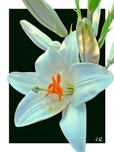 Blanca y radiante (azucena)