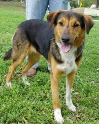 Angie is an adoptable Hound Dog in Austin, TX. 40 pounds 1.5 years ADORABLE ANGIE! Angie is most likely a mix of Lab/Shepherd and some kind of dog in the Hound group. She is super friendly, affectiona...