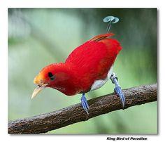 King Bird Of Paradise Flying   King Bird of Paradise photo - Robert photos at pbase.com