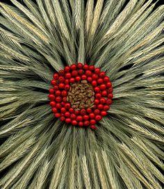 52808 Asclepias syriaca, Ilex verticillata, Secale cereale | Flickr - Photo Sharing!