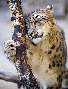 ❤Snow Leopard ♥ I love you, tree trunk.