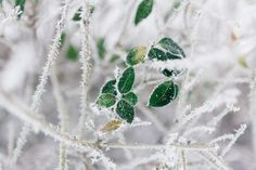 trees branch green leaf plant nature snow winter cold weather