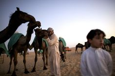 A Bedouin in western Abu Dhabi, United Arab Emirates, caresses his camels, which have been brought from Saudi Arabia for a beauty contest. The discovery that many camels show current or past infection with the MERS virus has sent shock waves throughout the Middle East, where camels are revered as important sources of transport, food, entertainment, and affection.