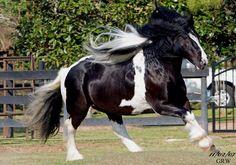 Gypsy MVP |Marluc | Gypsy Vanner Stallion for Sale | Piebald