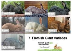 Colours and health guide for Flemish Giants.
