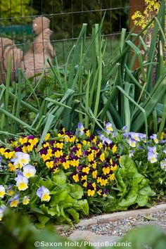 Pansy flowers (Viola) in ornamental edible border with onions and lettuces, Rosalind Creasy organic vegetable garden