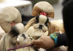 Bouffants: A handler grooms almost two identical Shih-Tzu puppies prior to performing at the opening of the three-day Federation Cynologique Internationale (FCI) Asia and the Pacific Section Dog Show. Poor puppies - - -