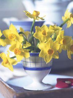 Mini Daffodils for Breakfast Tray