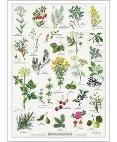 Koustrup & Co. plakat i - kryddersnaps - Hokus Krokus Botanical Drawings, Botanical Illustration, Botanical Prints, Herb Garden, Vegetable Garden, Garden Plants, Terre Nature, Medicinal Plants, Gardening Tips