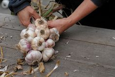 to Braid Garlic for Stylish Winter Storage Making Garlic Braids - how toMaking Garlic Braids - how to Growing Vegetables At Home, Growing Herbs, Braiding Garlic, Make Garlic Bread, Planting Garlic, Garlic Bulb, Grow Organic, Rustic Gardens, Fruit And Veg