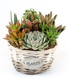 Love this Live Cactus & Succulent Round Basket Garden by Altman on #zulily! #zulilyfinds