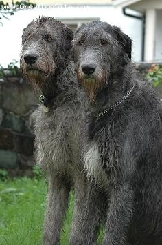 One of the earliest recorded references to Irish Wolfhounds is in Roman records dating to 391 A.D. Often used as royal gifts, they hunted with their masters, fought beside them in battle, guarded their castles, played with their children, and lay quietly by the fire as family friends. They were fierce hunters of wolves and the oversized Irish elk, so good that their prey disappeared from Ireland and the hounds fell upon hard times. By the 19th Century there were few IWs left in Ireland.