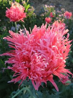 Papaver somniferum 'Venus' Poppy, how awesome is this flower - it looks like balls of tissue paper. Need to order!