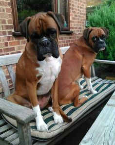 Trendy dogs and puppies breeds boxers pets Dogs And Kids, I Love Dogs, Cute Dogs, Boxer And Baby, Boxer Love, Boxer Puppies, Dogs And Puppies, Doggies, Puppy Breeds
