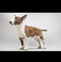 English Bull Terrier Pup