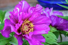 Tree Peony.  One of the largest and most flamboyant flowers in the garden surely must be the vibrant tree peony.
