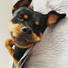"""Stylish Paws on Instagram: """"Yes I live the dream 😜🐕💁🏻♀️🛌🧐❤️🥰 #myhumansloveme #weekendvibes #soundon . . . #rottweiler #rottweilerpuppy #rottweilerlove…"""" Rottweiler Love, Rottweiler Puppies, Beautiful Rabbit, Basset Hound, Weekend Vibes, Animal Photography, Kitten, Instagram Images, Pets"""