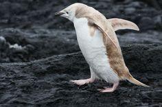 "Rare ""Blond"" Penguin Spotted in Antarctica | IFLScience"