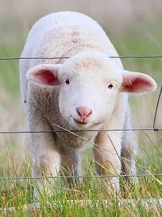 Hmmmmm.......shearing, carding, roving, spinning, plying, knitting, repeat.  Baaa!