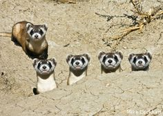 black-footed_ferret_family