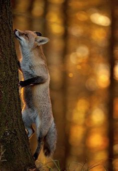 Foxes climb trees?