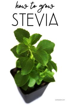 How To Grow Stevia As A Natural Sweetener