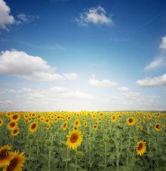 sunflower field by Liliia Rudchenko  on Creative Market