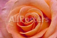 Orange Rose Close-Up by Billy Stock Landscapes Photographic Print - 61 x 41 cm