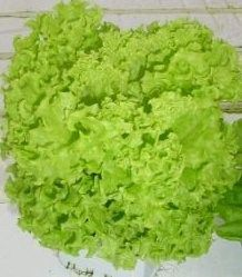 LOCARNO RZ is a slow-bolting lollo bionda that is variety suitable for indoor and outdoor cultivation. Lettuce Seeds, Agriculture, Indoor, Ethnic Recipes, Locarno, Interior