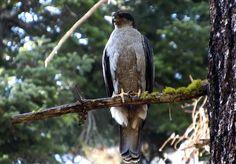 Amazing Comebacks, Conservation, Bald Eagle, Habitats, Maya, Coastal, Animals, Animales, Animaux
