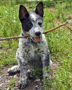 Koda the Cattle Dog Mix Pictures 914400-Oh What a handful of mischief this guys looks to be!