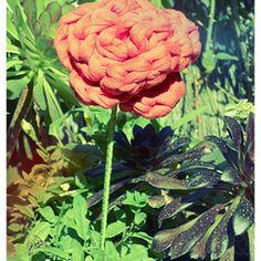 Rosa de trapillo